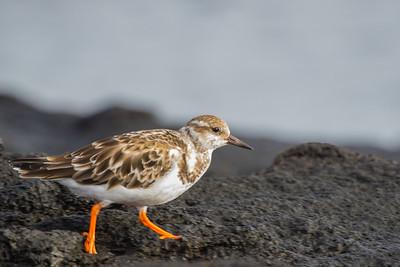 Ruddy Turnstone - Record - Punta Espinosa, Isla Fernandina, Galapagos, Ecuador