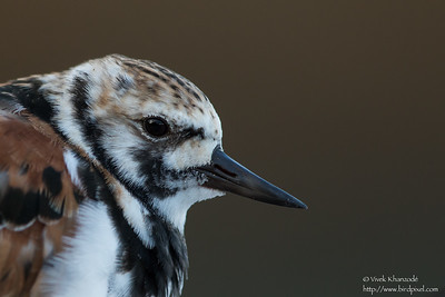 Ruddy Turnstone - Blue Waters Inn, Tobago