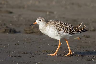 Ruff - Non-breeding male - Aswan, Egypt