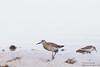 Ruff & Western Sandpiper size comparison - Juvenile - Alviso, CA, USA
