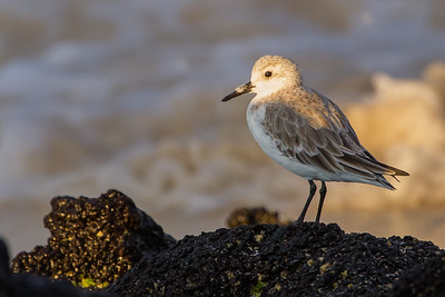 Sanderling - Isla Santa Cruz, Galapagos, Ecuador