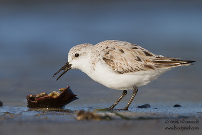 Sanderling - Pillar Pt. Harbor, Half Moon Bay, CA, USA