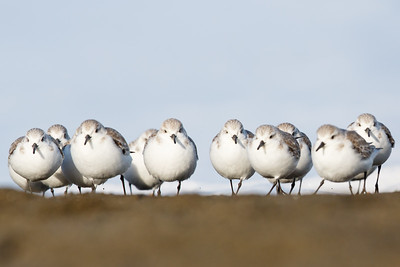 Sanderlings - Pacifica, CA, USA