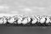 Sanderlings - Pacifica, CA, USA