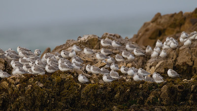 Sanderlings at Pescadero Beach - Pescadero, CA, USA
