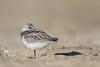 Sanderling - Half Moon Bay, CA, USA