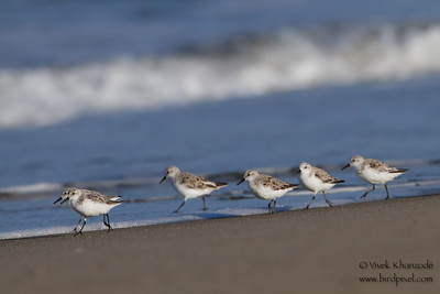 Sanderling - Moss Landing, CA, USA