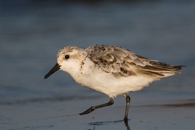 Sanderling - Half Moon Bay, CA, USA
