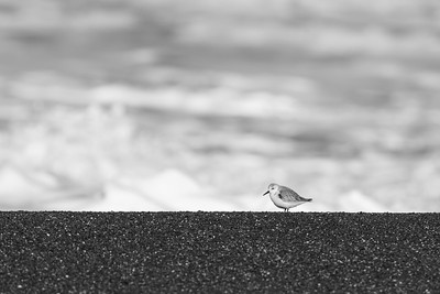 Sanderling - Pacifica, CA, USA