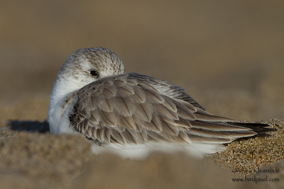Sanderling - Santa Cruz County, CA, USA
