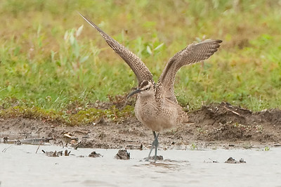 Whimbrel - Ohio, September 2014