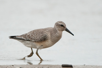 Red Knot - Ohio, Sept 2014