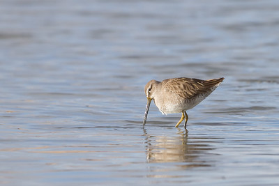 Short-billed Dowitcher - Palo Alto Baylands, Palo Alto, CA