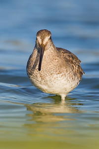 Short-billed Dowitcher - Redwood Shores, CA, USA