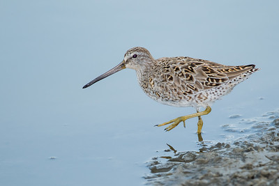Short-billed Dowitcher - South Padre Island, TX, USA