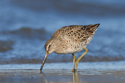 Short-billed Dowitcher - Pillar Pt. Harbor, Half Moon Bay, CA, USA