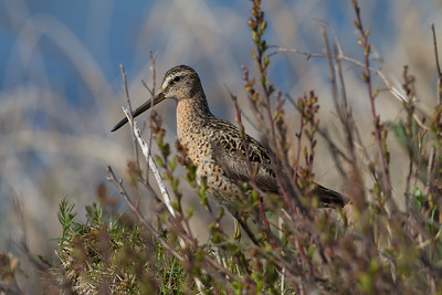 Short-billed Dowitcher in Willows - Anchorage, AK, USA