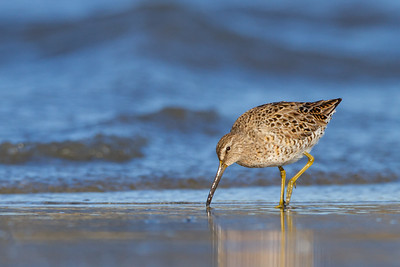 Short-billed Dowitcher - Half Moon Bay, CA, USA