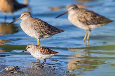 Western Sandpiper and Short-billed Dowitcher - Size comparison - Redwood Shores, CA, USA