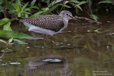 Solitary Sandpiper - Aripo Agricultural Station, Trinidad