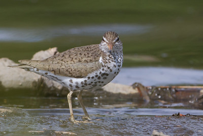 Spotted Sandpiper - Anchorage, AK, USA