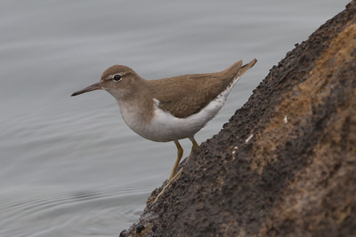 Spotted Sandpiper - Non breeding plumage - Point Richmod, CA, USA