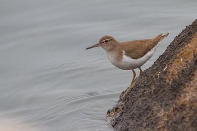 Spotted Sandpiper - Richmond, CA, USA