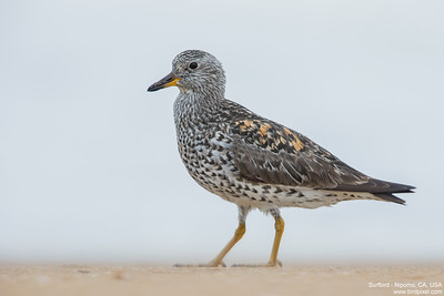 Surfbird - Nipomo, CA, USA