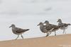 Surfbirds - Nipomo, CA, USA