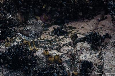 Surfbird - Pucusana, Peru