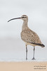 Whimbrel - Near Oso Flaco Lake, Nipomo, CA, USA
