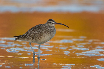 Whimbrel - Natural Bridges State Beach - Santa Cruz, CA