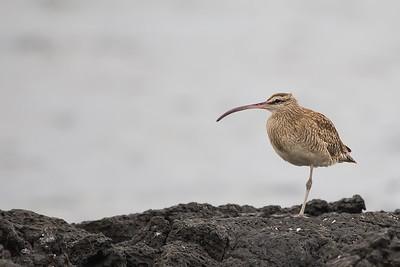 Whimbrel - Punta Moreno, Isla Isabela, Galapagos, Ecuador