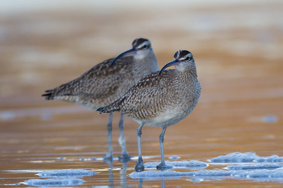 Whimbrel - Natural Bridges State Beach - Santa Cruz, CA, USA