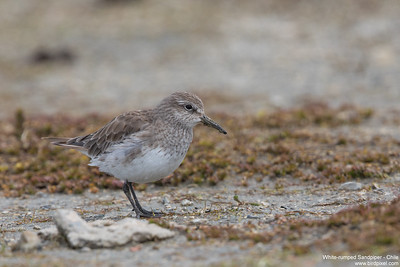 White-rumped Sandpiper - Chile