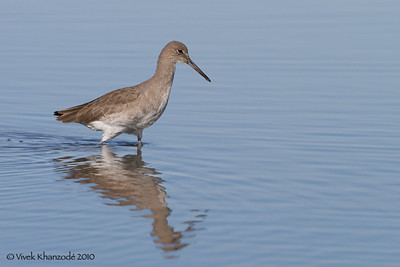 Willet  - Shoreline Park, Mountain View, CA