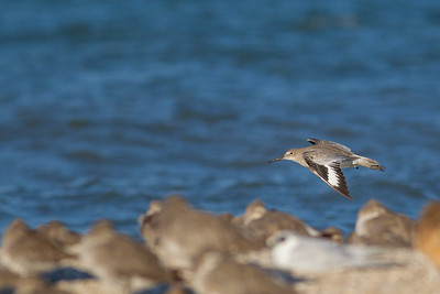 Shorebirds - Foster City, CA, USA