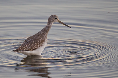 Willet - Bolsa Chica, Huntington Beach, CA, USA