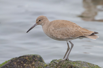 Willet - Richmond, CA, USA