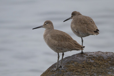 Willet - Point Richmond, CA