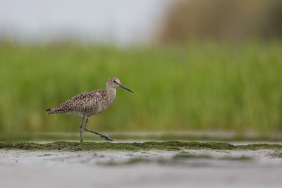 Willet - Palo Alto, CA, USA