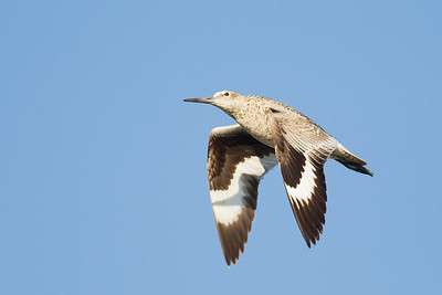 Willet in flight - Palo Alto, CA, USA