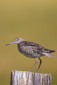 Willet - Sierra Valley, CA, USA