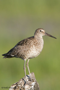 Willet in breeding plumage