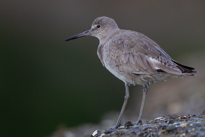 Willet - Mountain View, CA, USA