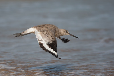 Eastern Willet - South Padre Island, TX, USA