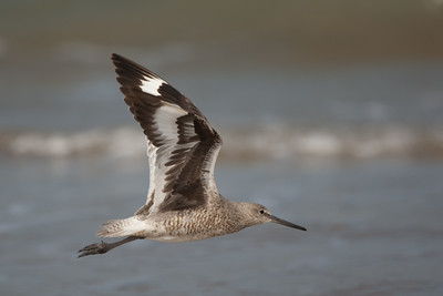 Willet - South Padre Island, TX, USA