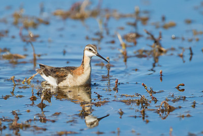 Wilson's Phalarope - Marble Hot Springs - Sierra Valley, CA, USA