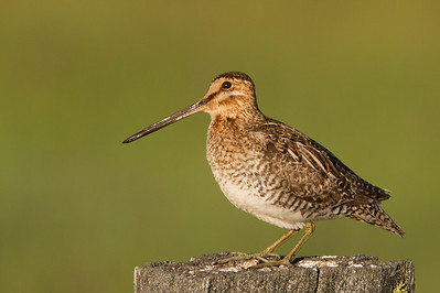 Wilson's Snipe - Sierra Valley, CA, USA