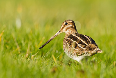 Wilson's Snipe - Coyote Hills Regional Park, Fremont, CA, USA